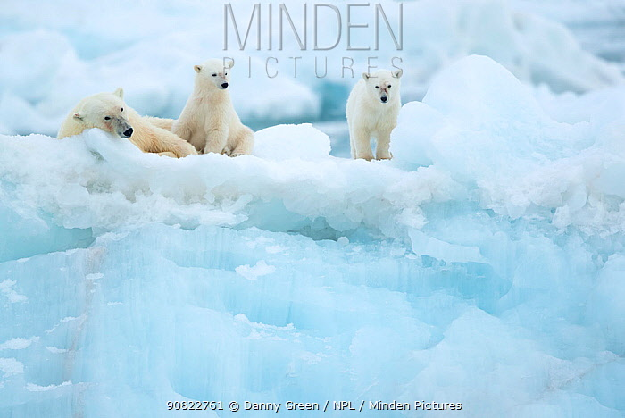 Polar bear (Ursus maritimus) female resting with cubs on glacier. Svalbard, Norway, July.