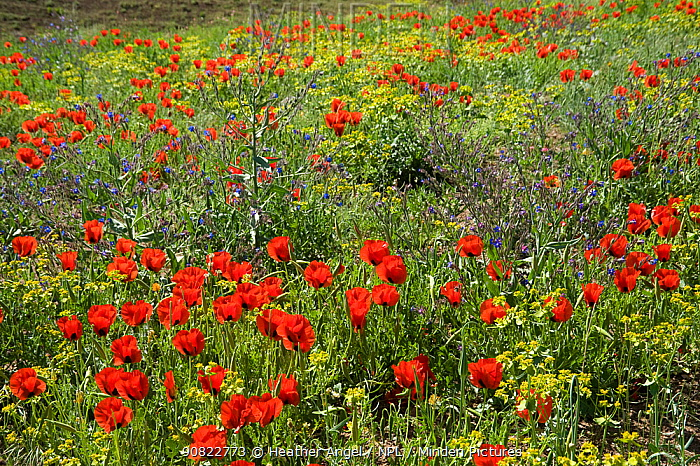 Grand-flowered horned poppies (Glaucium grandiflorum) in southern Turkey, June.