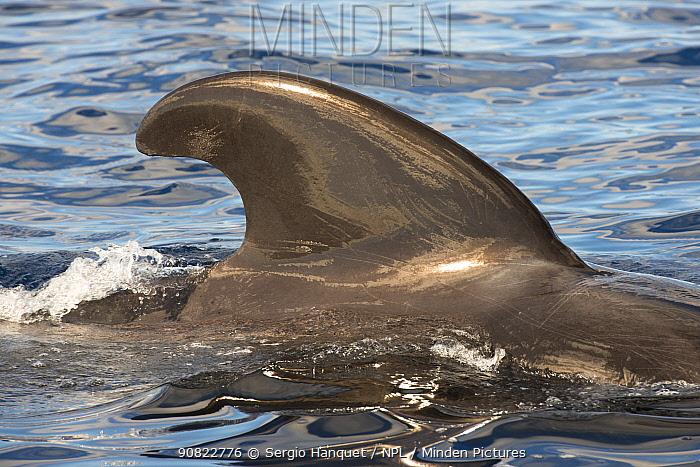 Short-finned pilot whale (Globicephala macrorhynchus) dorsal fin. Tenerife, Canary Islands.