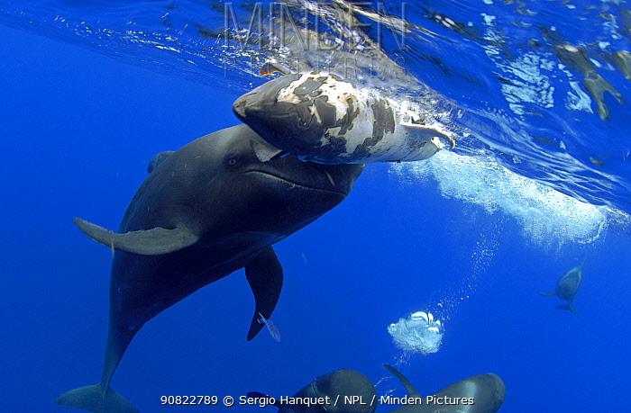 Short-finned pilot whale (Globicephala macrorhynchus) female carrying dead calf below water surface. Tenerife, Canary Islands.