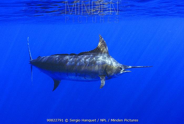 Atlantic blue marlin (Makaira nigricans). Tenerife, Canary Islands.