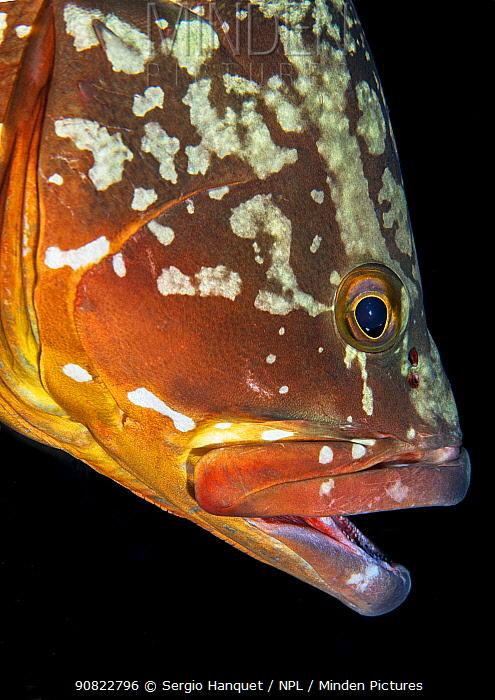 Canary fish (Epinephelus marginatus) portrait with mouth open. El Hierro, Canary Islands.