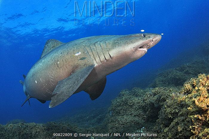 Smalltooth sand tiger (Odontaspis ferox) swimming over sea floor, small fish around shark. El Hierro. Canary Islands.