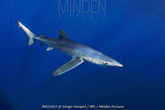 Blue shark (Prionace glauca). Canary Islands. North Atlantic Ocean.