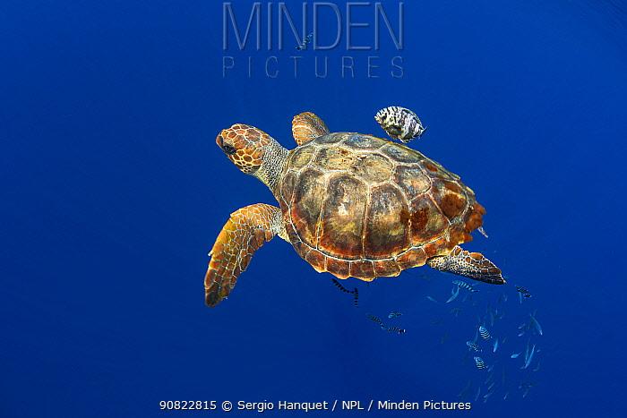 Loggerhead sea turtle (Caretta caretta) and fish. Tenerife, Canary Islands.