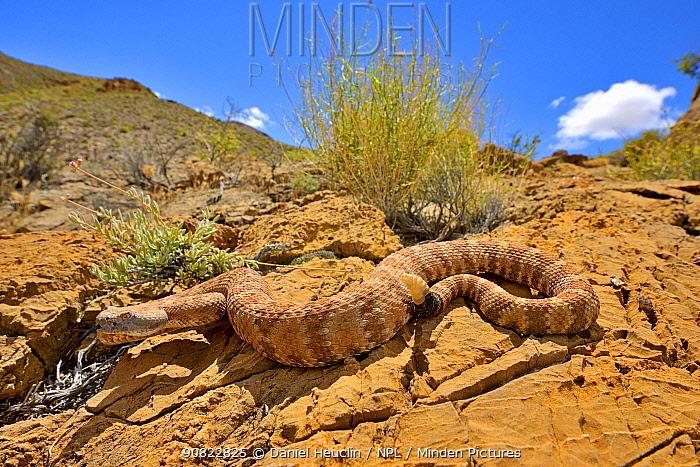 Panamint rattlesnake (Crotalus stephensi) on rock, tongue out and rattle raised. Amargosa Desert, Nye County, Nevada. May.