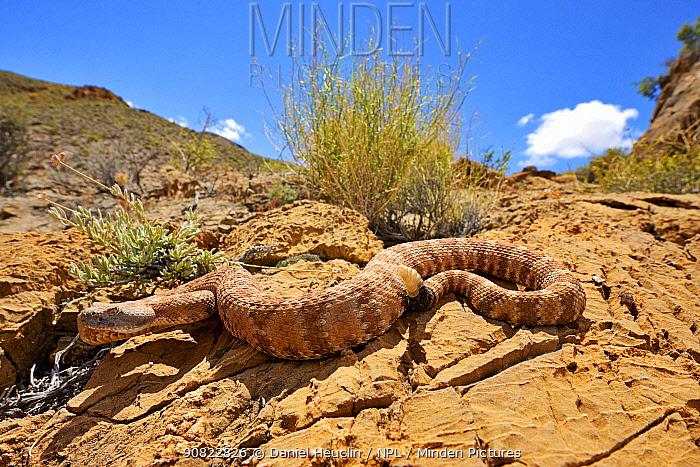 Panamint rattlesnake (Crotalus stephensi) on rock, Amargosa Desert, Nye County, Nevada. May.