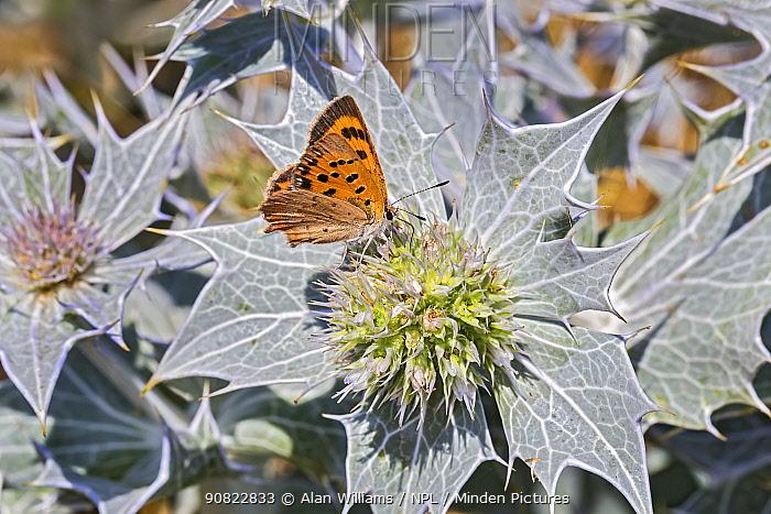 Small copper (Lycaena phlaeas) butterfly nectaring on Sea holly (Eringium maritimum), Dee Estuary near Hoylake, Wirral, England, UK. July.