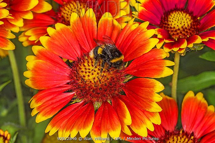 Buff-tailed bumblebee (Bombus terrestris) nectaring on Common blanket flower (Gaillardia aristata) in garden. Cheshire, England, UK. July.
