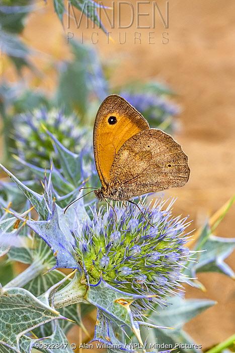 Meadow brown butterfly (Maniola jurtina) nectaring on Sea Holly (Eryngium maritimum) flower. Dee Estuary, Wirral, Mersyside, UK. July.