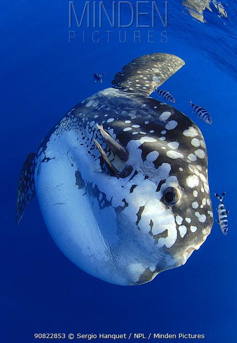 Ocean sunfish (Mola mola) and Pilot fish (Naucrates sp). Tenerife, Canary Islands.