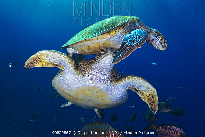 Green sea turtle (Chelonia mydas), two swimming amongst fish. Tenerife, Canary Islands.