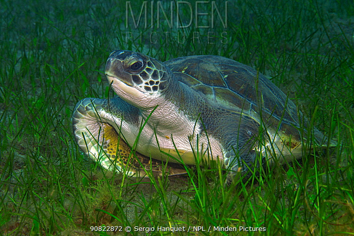 Turtle (Chelonia mydas) resting on sea floor in marine meadow, amongst Little Neptune grass (Cymodocea nodosa). Canary Islands, Tenerife.