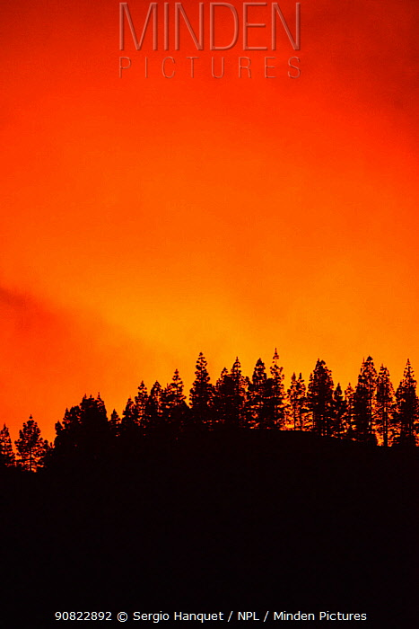 Forest fire in Canary Island pine (Pinus canariensis) forest. Ifonche, Tenerife, Canary Islands, 2012.