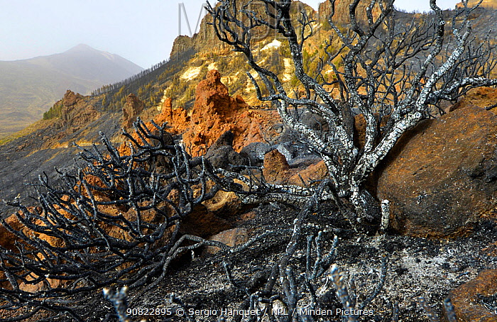 Charred remains of tree following forest fire. Teide National Park, Tenerife, Canary Islands, 2012.