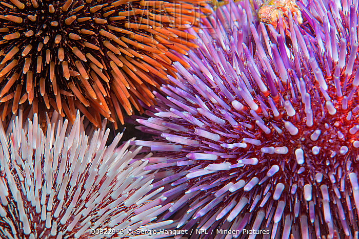 Purple sea urchin (Sphaerechinus granularis), three of different colours. Tenerife, Canary Islands.