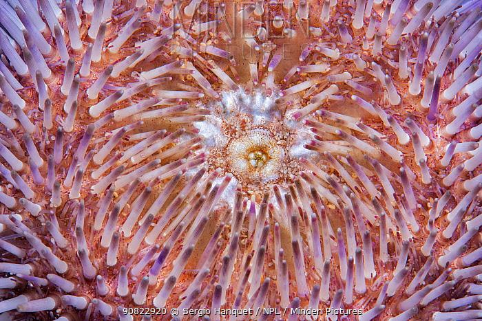Purple sea urchin (Sphaerechinus granularis). Tenerife, Canary Islands.