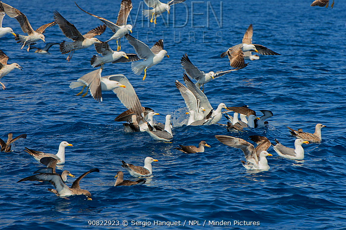 Yellow-legged gull (Larus michahellis) group in flight and resting on sea. Tenerife, Canary Islands.