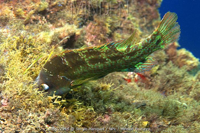 Emerald wrasse (Symphodus trutta) male making nest of algae where female will deposit eggs. Tenerife, Canary Islands.