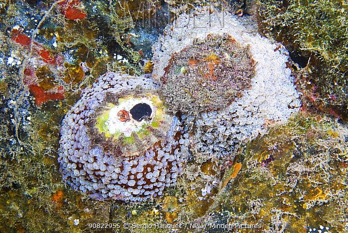 Umbrella slug (Umbraculum umbraculum). Tenerife, Canary Islands.