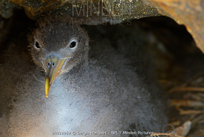 Scopoli's shearwater (Calonectris diomedea) chick, portrait. Nature Reserve, Savage Islands, Madeira.