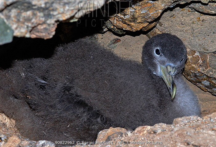 Scopoli's shearwater (Calonectris diomedea) chick on nest within rocks. Nature Reserve, Savage Islands, Madeira.