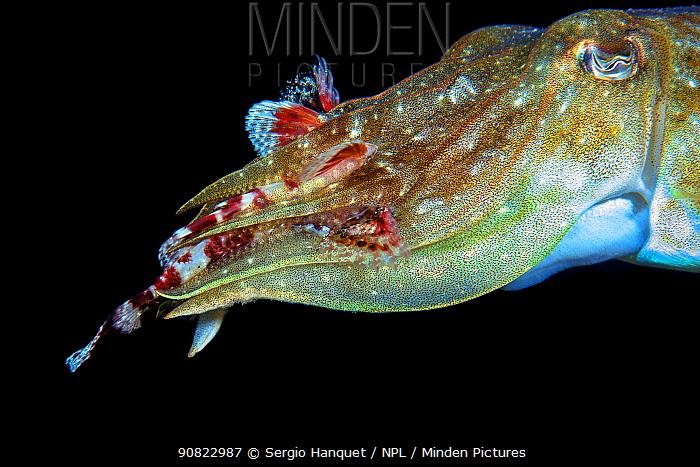 Cuttlefish (Sepia officinalis) feeding on Scorpionfish (Scorpaenidae). Tenerife, Canary Islands.