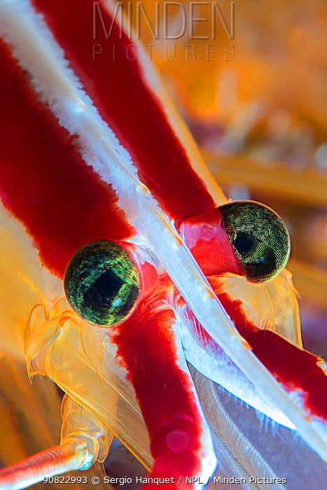 Red-backed cleaner shrimp (Lysmata grabhami) head, close up. Tenerife, Canary Islands.