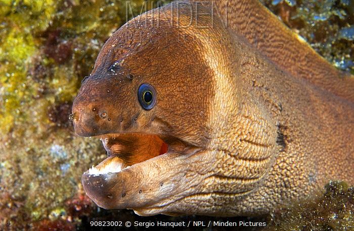Brown moray eel (Gymnothorax unicolor), portrait. Tenerife, Canary Islands.