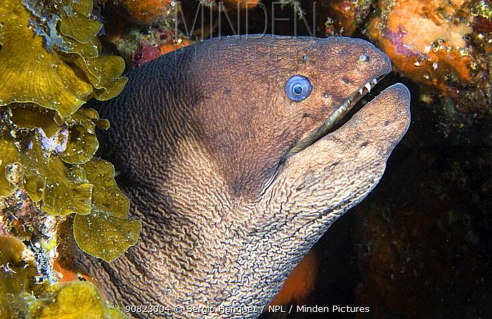 Brown moray eel (Gymnothorax unicolor), portrait. El Hierro, Canary Islands.