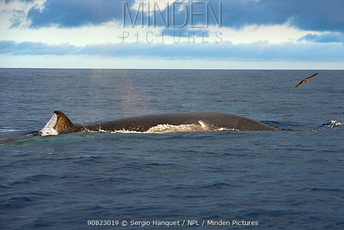 Bryde's whale (Balaenoptera brydei) fin visible at surface. Tenerife, Canary Islands.