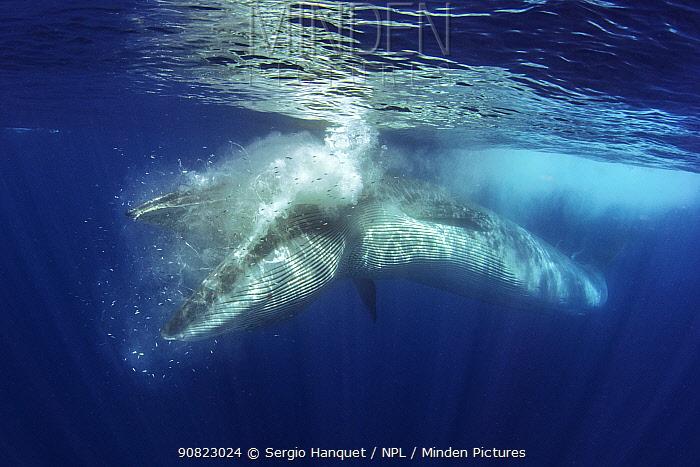 Bryde's whale (Balaenoptera brydei) feeding. Tenerife, Canary Islands.