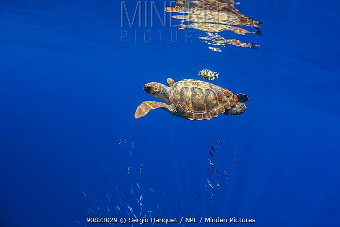 Loggerhead sea turtle (Caretta caretta), reflected in water surface.Tenerife, Canary Islands.