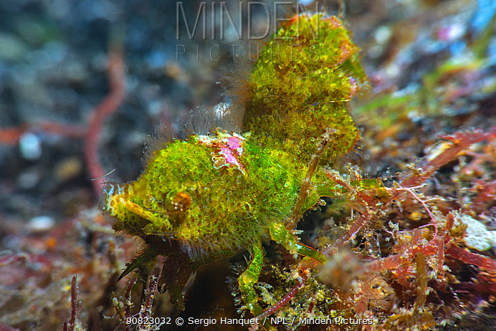 Shrimp (Trachycaris restricta), close up. Tenerife, Canary Islands.