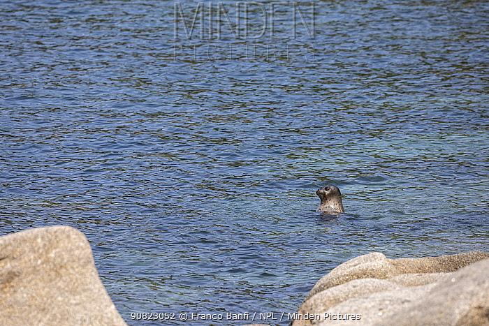 Spotted seal (Phoca largha) head above water, boulders in foreground. Vrangel Bay, Primorsky Krai, Russia. August.
