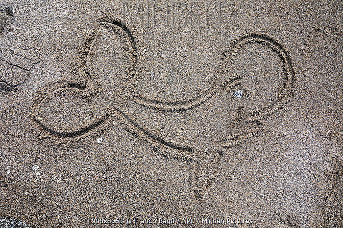 Drawing of Whale in sand, beach in Vrangel Bay where Bowhead whale (Balaena mysticetus) congregate every summer. Primorsky Krai, Russia. August.