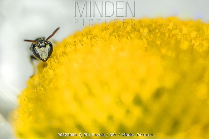 Hairy yellow faced bee( Hylaeus hyalinatus) male feeding on Ox-eye daisy (Leucanthemum vulgare), Monmouthshire, Wales, UK. June
