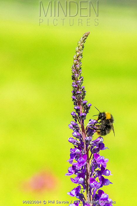 Early bumblebee(Bombus partorum) feeding on Purple toadflax (Linaria purpurea), Monmouthshire, Wales, UK. June.