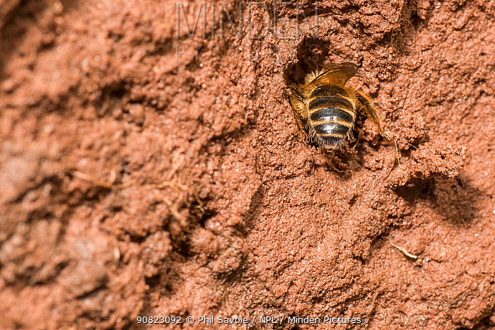 Yellow legged mining bee (Andrena flavipes) male outside nest burrow on riverbank, River Monnow, Monmouthshire, Wales, UK. April