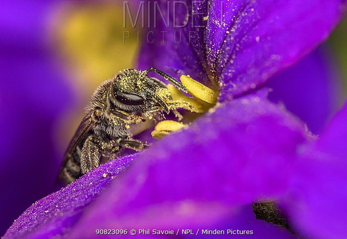 Smeathman's furrow bee (Lasioglossum smeathmanellum) tiny bee on Aubrieta flower, Monmouthshire, Wales, UK. March.