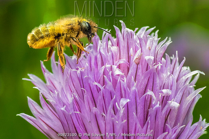 Red mason bee (Osmia bicornis) feeding on Chive (Allium schoenoprasum), Monmouthshire, Wales, UK. July