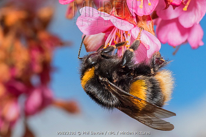 Buff tailed bumblebee (Bombus terrestris), queen feeding on Cherry blossom (Prunus sp.), Monmouthshire, Wales, UK. March