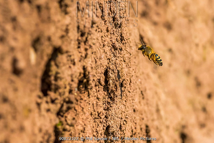 Yellow legged mining bee (Andrena flavipes) female outside nest burrow on riverbank, River Monnow, Monmouthshire, Wales, UK. April