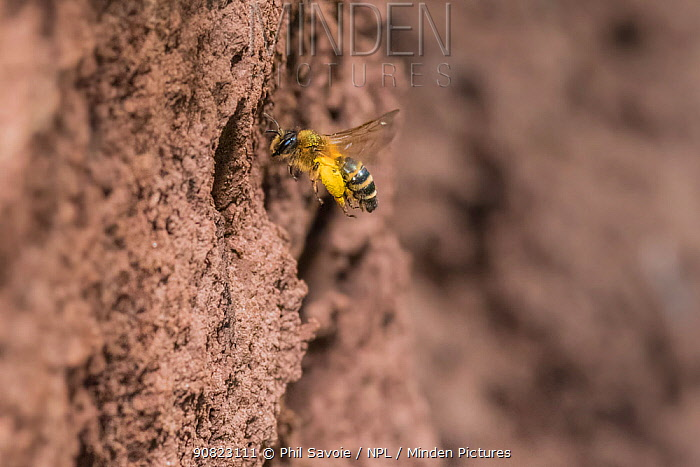 Yellow legged mining bee (Andrena flavipes) female with pollen baskets full, outside nest burrow, Monmouthshire, Wales, UK. September