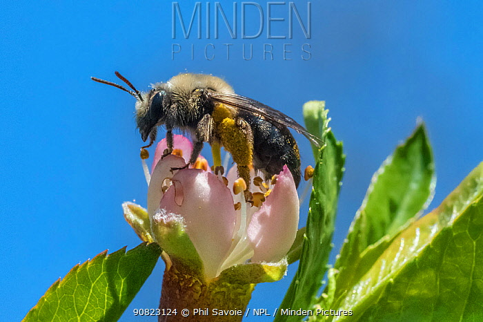 Mining bee (Andrena sp.) feeding on flower of Peach tree (Prunus persica) Ripon, Wisconsin, May.