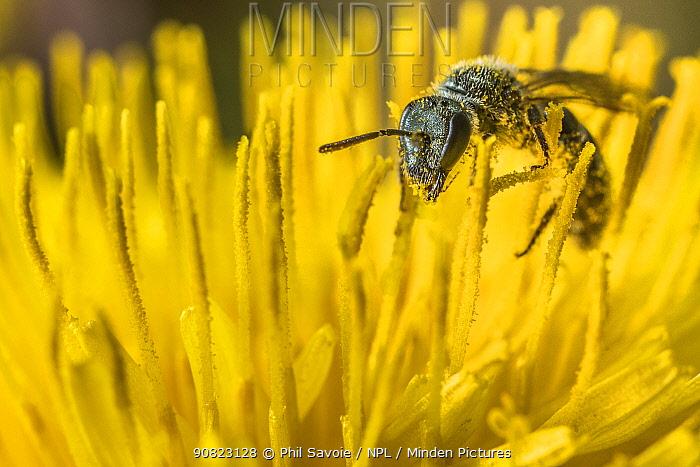 Smeathman's furrow bee (Lasioglossum smeathmanellum), feeding on Dandelion (Taraxacum offinicale) Monmouthshire, Wales, UK. March