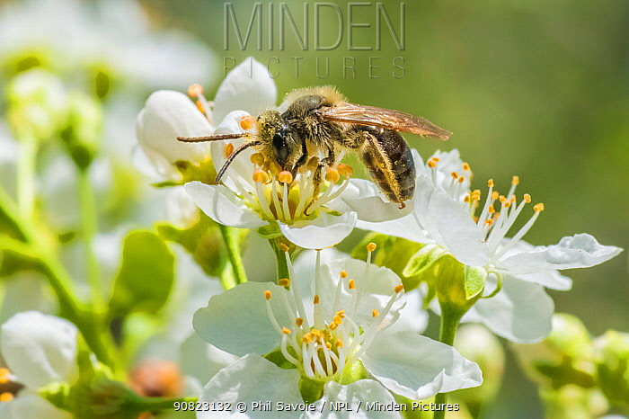 Mining bee (Andrena sp) feeding on Cherry blossom (Prunus sp), Ripon, Wisconsin, USA, May.
