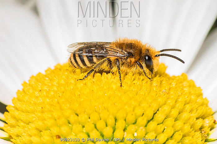 Ivy bee (Colletes hederae),on Ox-eye daisy (Leucanthemum vulgare), Monmouthshire, Wales, UK. June