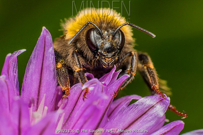 Buff tailed bumblebee (Bombus terrestris), queen, feeding on Chive (Allium schoenoprasum), Monmouthshire, Wales, UK. March