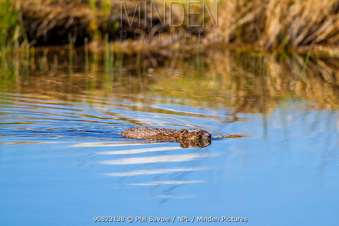 Muskrat (Ondatra zibethicus), swimming, Madison River, Gallatin National Forest, Bozeman, Montana, USA, May.